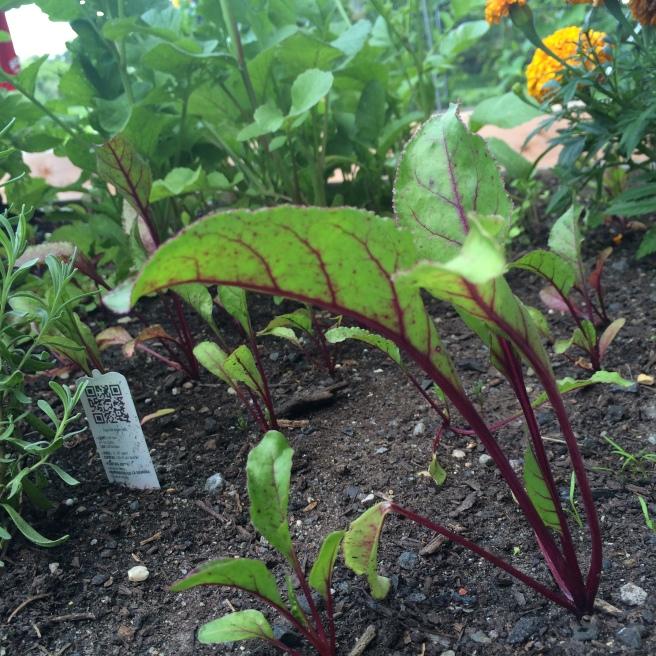 VEGGIES: Community Garden Update, Part III
