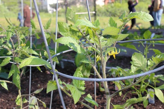VEGGIES: Community Garden Meet & Greet