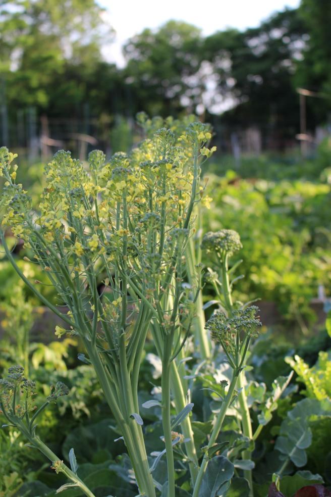 VEGGIES: Golden Hour in the Garden